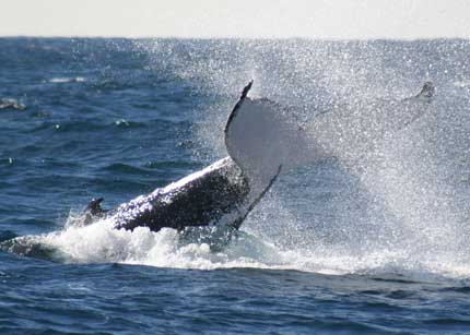 Whale Watching Sydney - Mackay Tourism