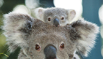 Billabong Koala and Wildlife Park - Mackay Tourism