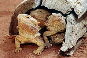 Alice Springs Reptile Centre - Mackay Tourism