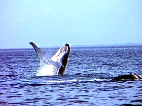 Whale Watching - Mackay Tourism