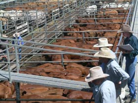 Dalrymple Sales Yards - Cattle Sales - Mackay Tourism