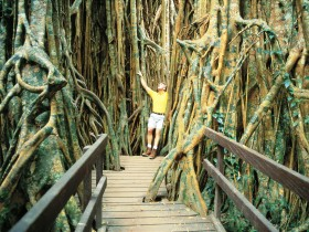 Curtain Fig Tree - Mackay Tourism