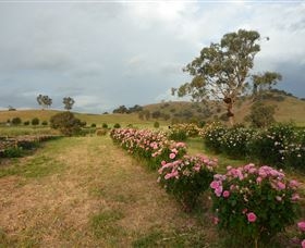 Damasque Rose Oil Farm - Mackay Tourism