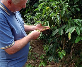 Wombah Coffee Plantation - Mackay Tourism