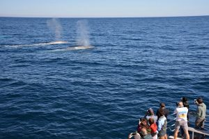 Blue Whale Perth Canyon Expedition - Mackay Tourism